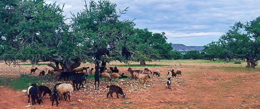 Argan-Goats