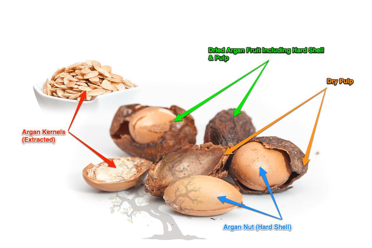 Argan fruit anatomy