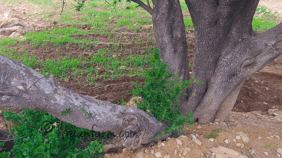 Argania Spinosa roots